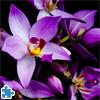 Niebieska Orchidea Puzzle